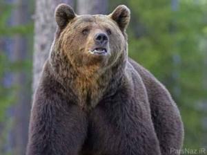 وحشت و فرار خرس وحشی با شنیدن صدای جاستین بیبر