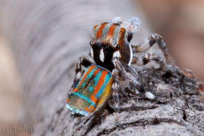 عکس خوشگل ترین عنکبوت جهان