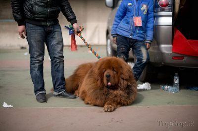 گران ترین و عجیب ترین سگ