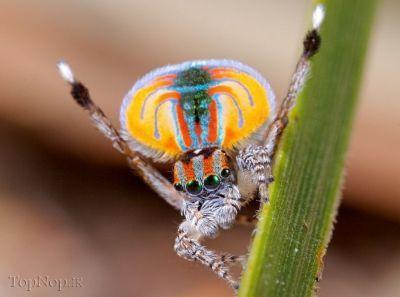WY9H4Agk44 عکس خوشگل ترین عنکبوت جهان