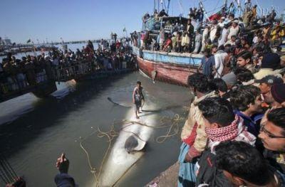 عکش شکار کوسه نهنگ 12 متری
