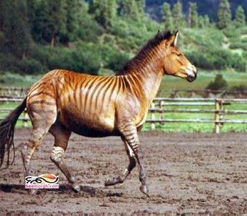 عکس جفت گیری اسب و گوره خر