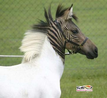 a1087 عکس جفت گیری اسب و گوره خر