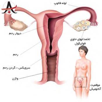 آناتومی دستگاه تولید مثل زنان و اندام جنسی زنان + عکس