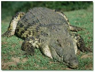 دانستنی ها درباره تمساح