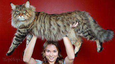 عکس بزرگ ترین گربه جهان