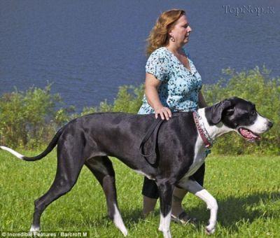 big dog 2 عکس بزرگترین سگ ماده جهان