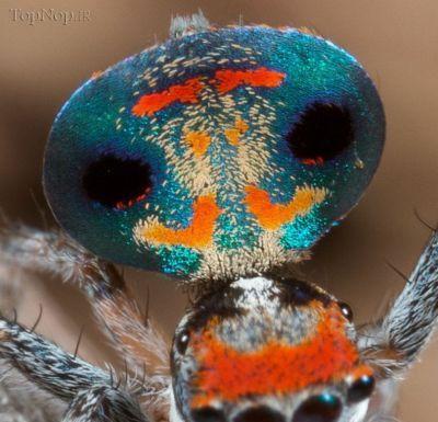 c880jtmkSt عکس خوشگل ترین عنکبوت جهان