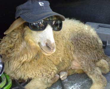 نامه خنده دار گوسفند به مادرش - طنز