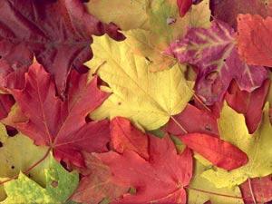 علت زرد و قرمز شدن برگ درختان در پاییز چیست؟