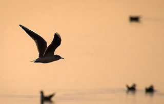 دلایل و چگونگی مهاجرت در پرندگان