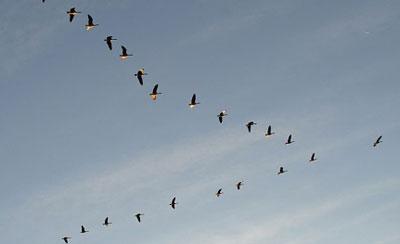 hhs2148-migratory-birds