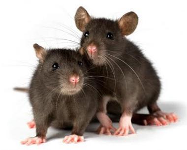 موش های نر و ماده وقتی میترسند چکار میکنند؟