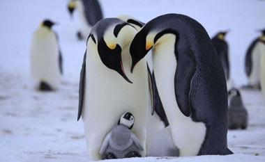 پنگوئن ها چگونه سرمای قطب را تحمل میکنند