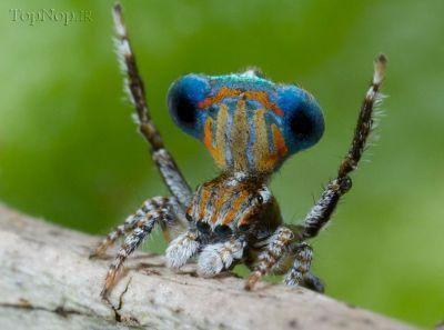 hrg4IlefX4 عکس خوشگل ترین عنکبوت جهان