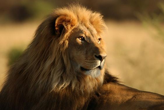image lion 3 عکس زیبای شیرهای وحشی