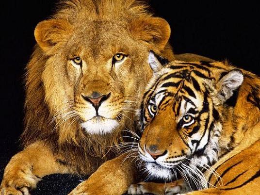 image lion 4 عکس زیبای شیرهای وحشی