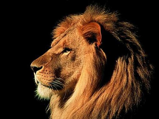 image lion 5 عکس زیبای شیرهای وحشی