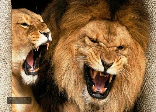 image lion عکس زیبای شیرهای وحشی