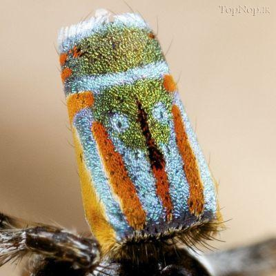 r60RMR8PaA عکس خوشگل ترین عنکبوت جهان