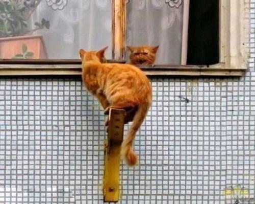 عکس گربه سگ, گربه ایرانی