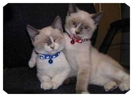 عکس تفاوت گربه نجیب با ولگرد