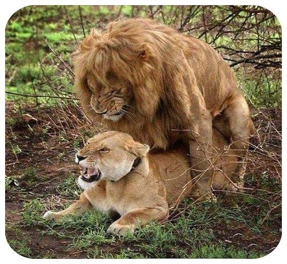 rahafun.com joftgirie heyvanat 1 عکس های جفت گیری حیوانات