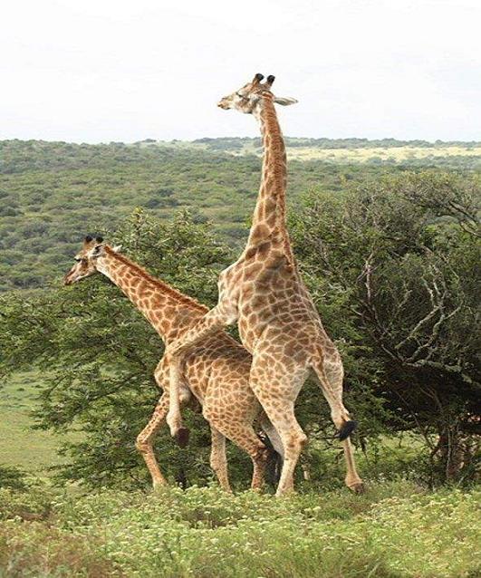rahafun.com joftgirie heyvanat 5 عکس های جفت گیری حیوانات