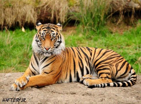 tiger-wall-