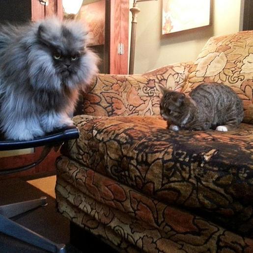 www.rahafun.com dwarf kitten lil bub cat 4 به این میگن یه گربه خوشرو و خوش اخلاق