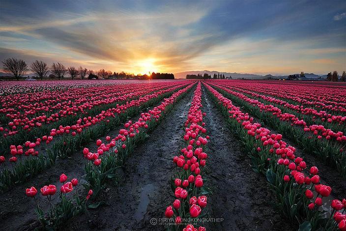 عکس مزارع گل رنگارنگ و خیره کننده