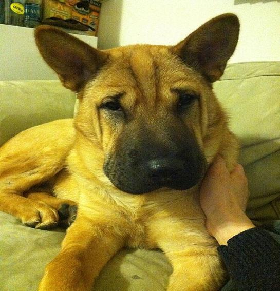www.rahafun.com funny dogs mixed breeds 65 4 عکسهای نژاد مختلف سگ