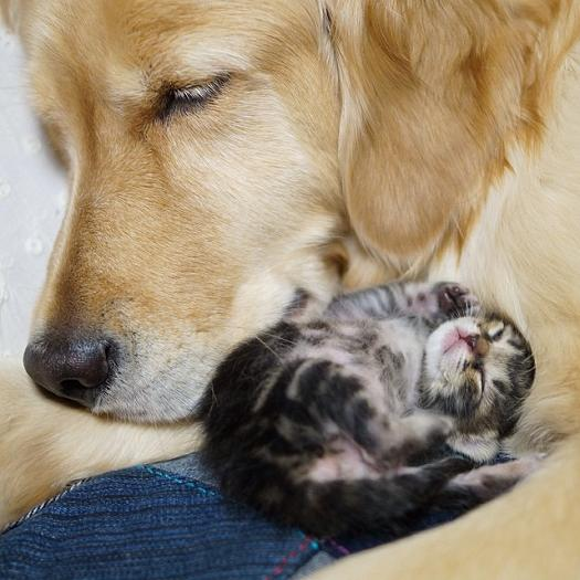 wwww.rahafun.com-kitten-rescued-golden-retriever-ichimi-ponzu (5)
